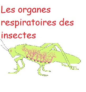 organes respiratoires insectes